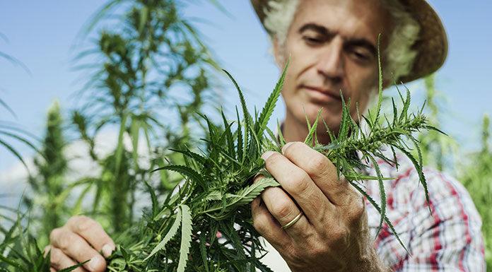 Susz CBD - legalne konopie lecznicze. Czym różnią się od medycznej marihuany?